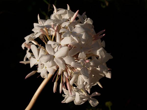 flor de biznaga