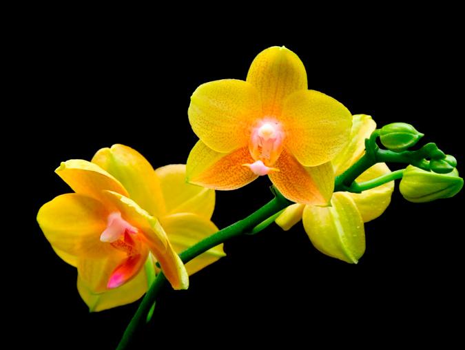 orquídea de color amarillo