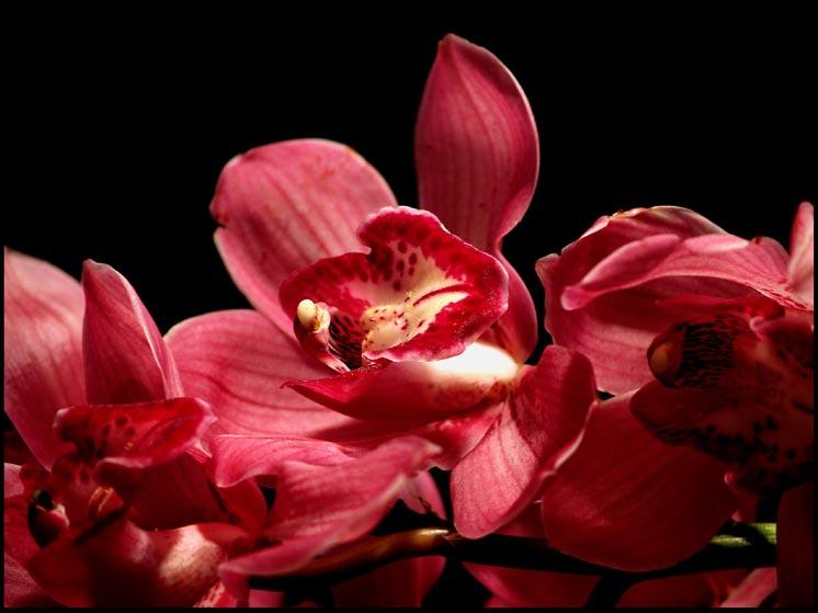 orquídea de color rojo