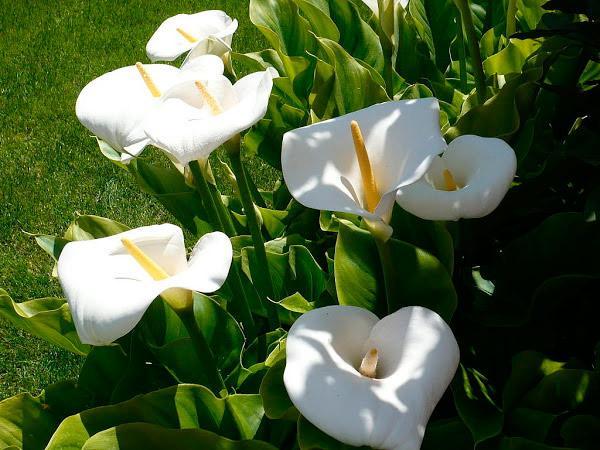 flor de calas