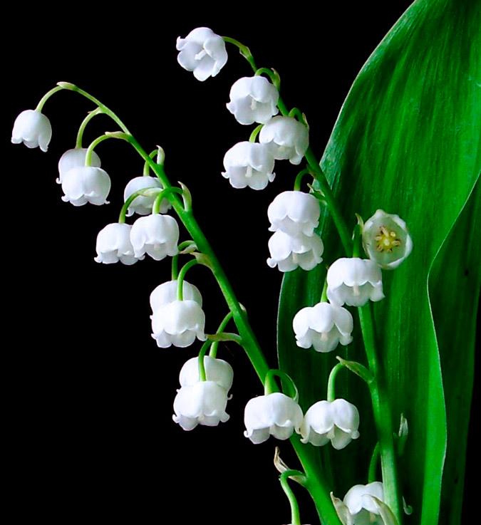 flor de lirio del valle