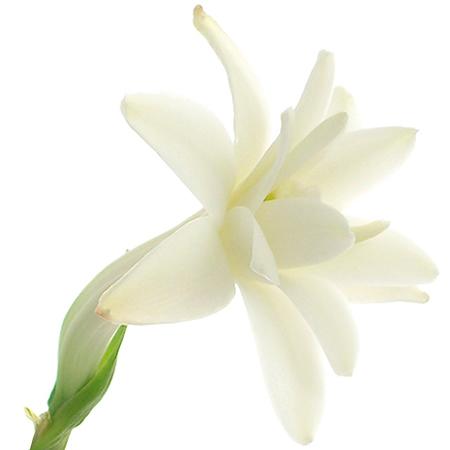 flor del nardo