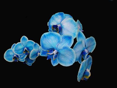 orquídea de color azul intenso