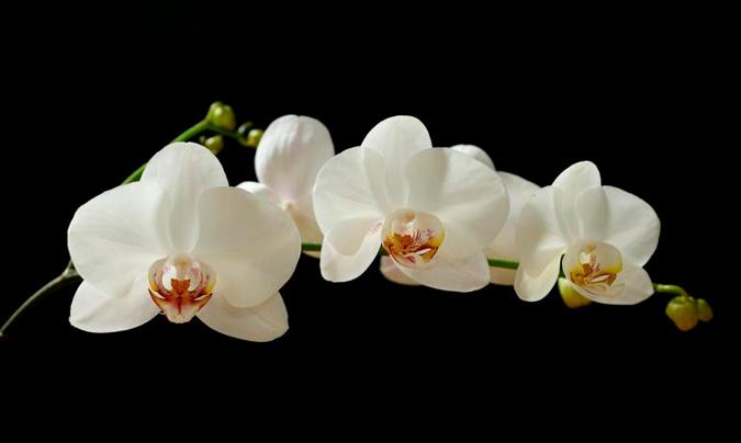 orquídea de color blanco