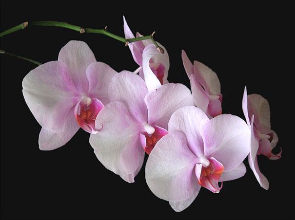 orquídea de color rosa