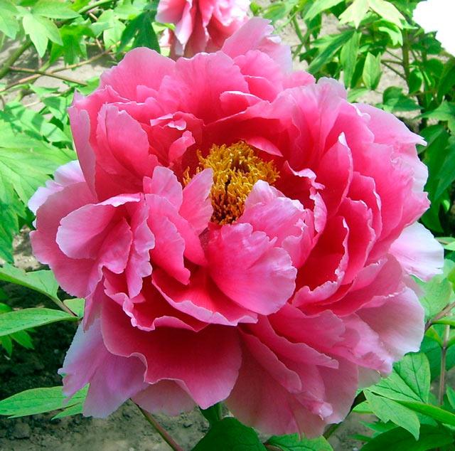 flor de peonia