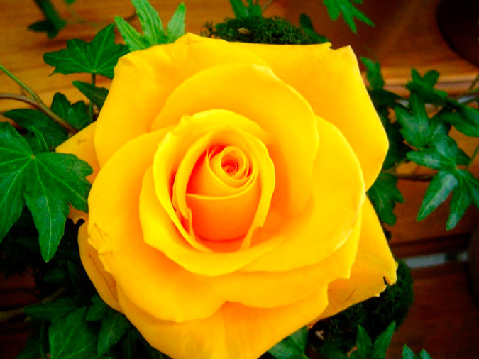 rosa de color amarillo