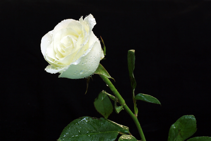 rosa de color blanco