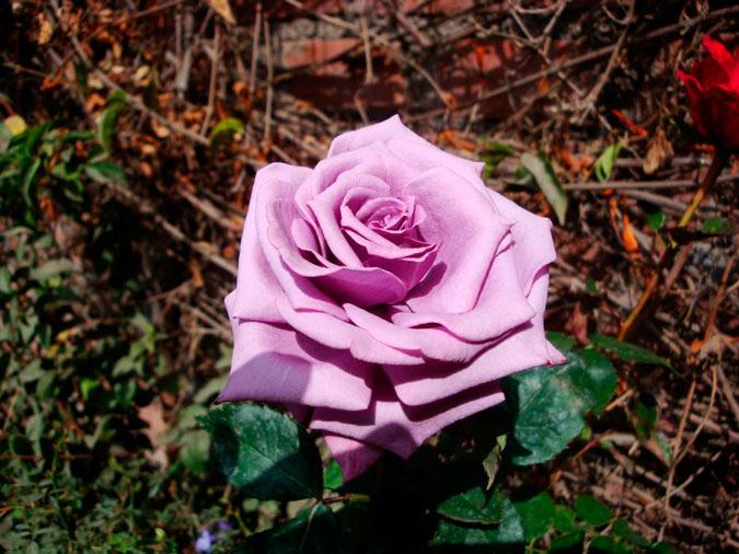 rosa de color malva