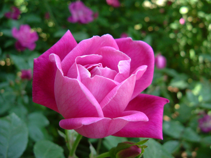 rosa de color rosado